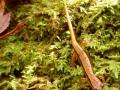 Eurycea wilderae